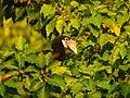 Narcondam Hornbill DSCN1992 13.jpg