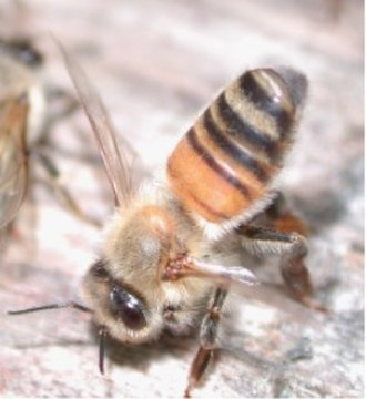 Pheromone - A fanning honeybee exposes Nasonov's gland (white – at tip of abdomen) releasing pheromone to entice swarm into an empty hive