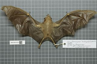 Short-headed broad-nosed bat species of mammal