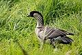 Nene or Hawaiian Goose Hakalau NWR HI 2018-12-02 13-07-31 (45250282335).jpg