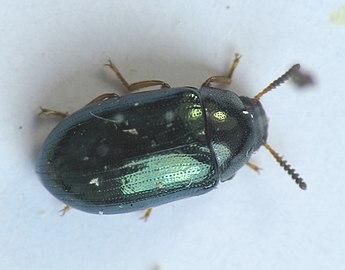 Neomida bicornis female