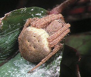 Spider fighting - Neoscona punctigera, one of the most common species caught for spider derbies in the Philippines