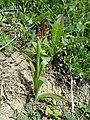 Neotinea ustulata subsp. aestivalis sl5.jpg