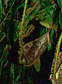 Nepenthes-sp.0web.jpg