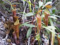 Nepenthes micramphora3.jpg