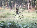 Nephila clavata found in Ranchi seen from back.jpg