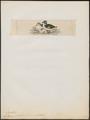 Nettapus pulchellus - 1820-1863 - Print - Iconographia Zoologica - Special Collections University of Amsterdam - UBA01 IZ17600215.tif