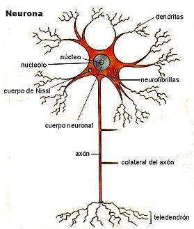 Neurona  Wikipedia la enciclopedia libre