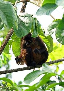 Nicaraguan spider monkey subspecies of mammal
