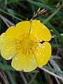 Noordwijk - Boterbloem (Ranunculus sp.) v2.jpg