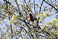 Northern Cardinal (m) - panoramio.jpg