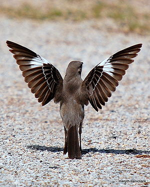 A Northern Mockingbird spreads its wings. Pict...