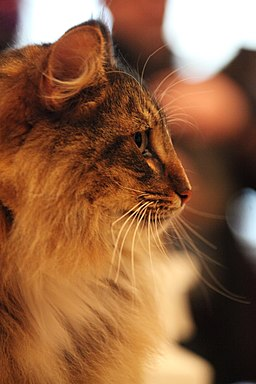 Norwegian Forest Cat face profile