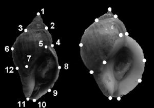 Landmark point - Position of landmark points (1-12), that were used for morphometric analysis of shells of Nucella lapillus.