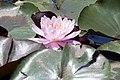 Nymphaea Firecrest 4zz.jpg