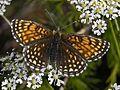 Nymphalidae - Melitaea diamina (female).JPG