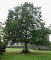 Oak celebrating Prince of Wales investiture, Raglan Castle - geograph.org.uk - 1531698.jpg