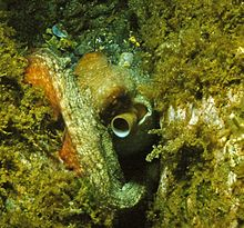 An octopus on the seabed, its siphon protruding near its eye