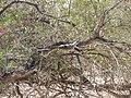 Ocyphaps lophotes (39922186942).jpg