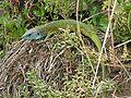 120px-Oestliche Smaragdeidechse Austria