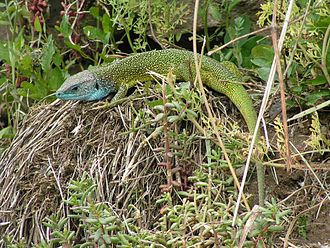Austrian wine - The Smaragd (emerald) Lizard, Lacerta viridis, which gives its name to the highest level of the Wachau wine classification.