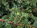 Oligotrophus juniperinus on Juniper Juniperus communis (24922277097).jpg
