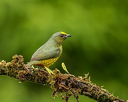 Olive-backed Euphonia (30312730748).jpg