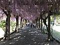 Omishima Wisteria Park 20180429-4.jpg