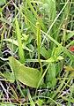 Ophioglossum vulgatum Orchi 141.JPG