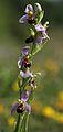 Ophrys apifera Tegeirian y gwenyn.jpg