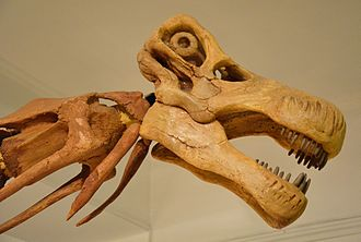 Nemegtosaurus - Cast of the skull of Nemegtosaurus, on a mounted Opisthocoelicaudia skeleton, Museum of Evolution of Polish Academy of Sciences, Warsaw