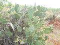 Opuntia ficus-indica (6).JPG