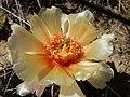 Opuntia polyacantha (26977228324).jpg