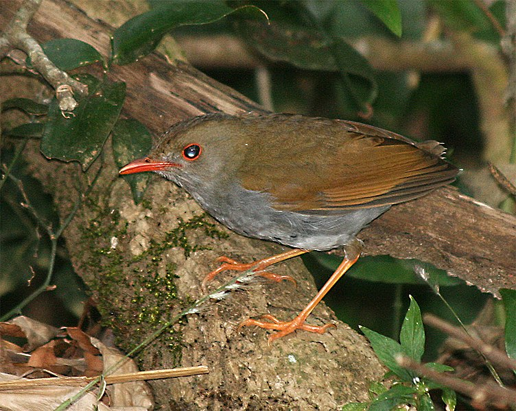 File:Orange-billed Nightingale-Thrush.jpg