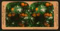 Orange Blossoms and Fruit, Los Angeles, Cal., U.S.A, by Singley, B. L. (Benjamin Lloyd) 3.png