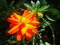 Orange Cosmos sulphureus (Gongqing Forest Park).JPG