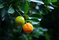 پرتقال ( میوهای از خانوادهی مرکبات )
