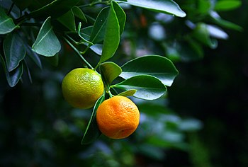 English: oranges