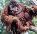 Orangutangus.PNG