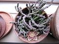 Orbea variegata (Stapelia) (3773311146).jpg
