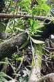 Orchidée près de Ribeira Peixe (São Tomé) (1).jpg