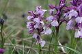 Orchis morio, Kleines Knabenkraut IMG 7523.JPG