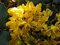 Oregon-grape (Mahonia aquifolium) (5616337296).jpg
