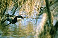 Oriental Darter (Anhinga melanogaster) in flight (20215881019).jpg