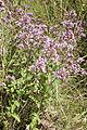 Origanum vulgare vallee-de-grace-amiens 80 21072007 1.jpg