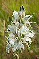 Orquídea Reserva Nacional Futaleufú 02.jpg