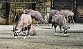 Oryx gazella Dvur zoo 1.jpg