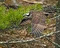 Osprey (17326841945).jpg