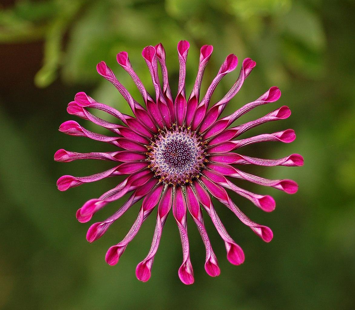 File Osteospermum Flower Power Spider Purple 2134px
