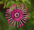 Osteospermum Flower Power Spider Purple 2134px.jpg
